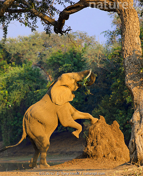 Elephant (Loxodonta africana) using termite mound to reach for food, Mana Pools National Park, Zimbabwe,  ,  Animal,Wildlife,Vertebrate,Mammal,Elephant,African elephants,African elephant,Animalia,Animal,Wildlife,Vertebrate,Mammalia,Mammal,Proboscidea,Elephantidae,Elephant,Loxodonta,African elephants,Loxodonta africana,African elephant,Reaching,Stretching,Africa,Zimbabwe,Southern Africa,Side View,Animal Home,Nest,Termite Mound,Termite Mounds,Drought,Animal Behaviour,Feeding,Behaviour,Mana Pools National Park,Behavioural,Endangered species,threatened,Endangered  ,  Tony Heald