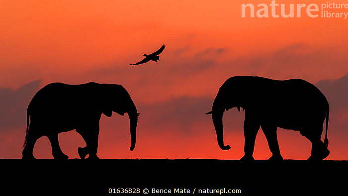 African elephant (Loxodonta africana) two silhouetted at sunset with goose flying overhead, Mkuze, South Africa. Highly commended in the African Wildlife category of the Nature's Best Photography Competition 2019., competition winners 2019,,,Animal,Wildlife,Vertebrate,Mammal,Elephant,African elephants,African elephant,Animalia,Animal,Wildlife,Vertebrate,Mammalia,Mammal,Proboscidea,Elephantidae,Elephant,Loxodonta,African elephants,Loxodonta africana,African elephant,Flying,Symmetry,Colour,Orange,Two,Back Lit,Sunset,Setting Sun,Sunsets,Silhouette,Mixed species,Competition winner,Dusk,Photography award,Endangered species,threatened,Endangered,,competition winners 2019,, Bence Mate