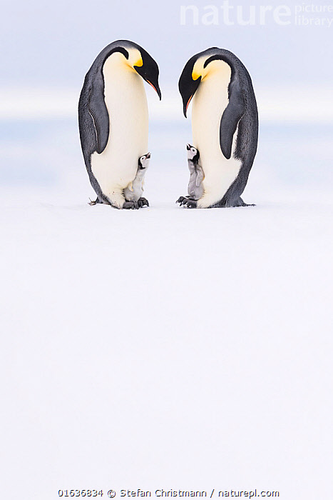 Emperor penguin (Aptenodytes forsteri) two adults brooding chicks age 5 weeks, Antarctica. Highly commended in the Polar Passion Category of the Nature's Best Photography Awards 2019.  ,  competition winners 2019,,,Animal,Wildlife,Vertebrate,Bird,Birds,Penguin,Emperor penguin,Animalia,Animal,Wildlife,Vertebrate,Aves,Bird,Birds,Sphenisciformes,Penguin,Seabird,Spheniscidae,Aptenodytes,Aptenodytes forsteri,Emperor penguin,Symmetry,Two,Antarctica,Antarctic,Polar,Young Animal,Baby,Chick,Snow,Animal Behaviour,Brooding,Parental behaviour,Behaviour,Parental,Competition winner,Photography award,Behavioural,Flightless,,competition winners 2019,  ,  Stefan Christmann