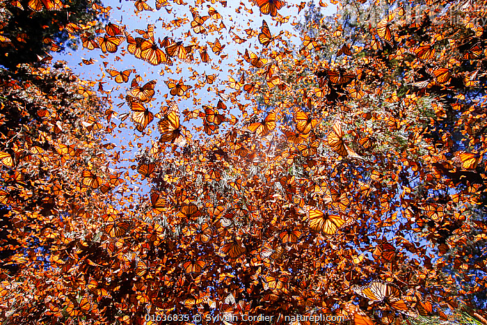 Monarch butterfly (Danaus plexippus) wintering in Oyamel pine forests (Abies religiosa) Monarch Butterfly Biosphere Reserve / Reserva de Biosfera de la Mariposa Monarca UNESCO World Heritage Site,  Angangueo, Mexico. Highly commended in the Other animals Category of the Montier Photography Competition 2019., competition winners 2019,,,Animal,Wildlife,Arthropod,Insect,Brushfooted butterfly,Tiger butterfly,Monarch,Animalia,Animal,Wildlife,Hexapoda,Arthropod,Invertebrate,Hexapod,Arthropoda,Insecta,Insect,Lepidoptera,Lepidopterans,Nymphalidae,Brushfooted butterfly,Fourfooted butterfly,Nymphalid,Butterfly,Papilionoidea,Danaus,Tiger butterfly,Milkweed butterfly,Monarch,Queen,Danaus plexippus,Monarch butterfly,Monarque,Tiny checkerspot,Danaus archippus,Danaus menippe,Papilio plexippus,Flying,Colour,Orange,Group,Latin America,Central America,Mexico,Reserve,Competition winner,Protected area,UNESCO World Heritage Site,UNESCO Biosphere Reserve,Photography award,,,competition winners 2019,, Sylvain Cordier
