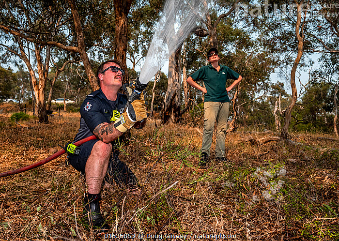 Firefighter from Melbourne's Metropolitan Fire Brigade (MBF) try and help cool down the Yarra Bend Grey-headed Flying-fox (Pteropus poliocephalus) colony by spraying water on them. Park Ranger and Grey-headed Flying-fox Project Officer Stephen Brend estimated that during this day, over 4,500 Grey-headed Flying-foxes died at the Melbourne Yarra Bend colony as temperatures exceeded 43°C. 56% being infants and a significant part of the next generation. Yarra Bend Park, Kew, Victoria, Australia. December 2019. Editorial use only., Animal,Wildlife,Vertebrate,Mammal,Bat,Mega bat,Flying fox,Grey headed flying fox,Animalia,Animal,Wildlife,Vertebrate,Mammalia,Mammal,Chiroptera,Bat,Pteropodidae,Mega bat,Megabat,Megachiroptera,Pteropus,Flying fox,Pteropus poliocephalus,Grey headed flying fox,People,Man,Emergency Service Occupation,Firefighter,Care,Caring,Help,Cooling Down,Rescue,Rescues,Rescuing,Saving,Temperature,Hot,Australasia,Australia,Victoria,Environment,Environmental Issues,Global Warming,Greenhouse Effect,Animal Behaviour,Thermoregulation,Behaviour,Climate change,Behavioural,Endangered species,threatened,Vulnerable, Doug Gimesy