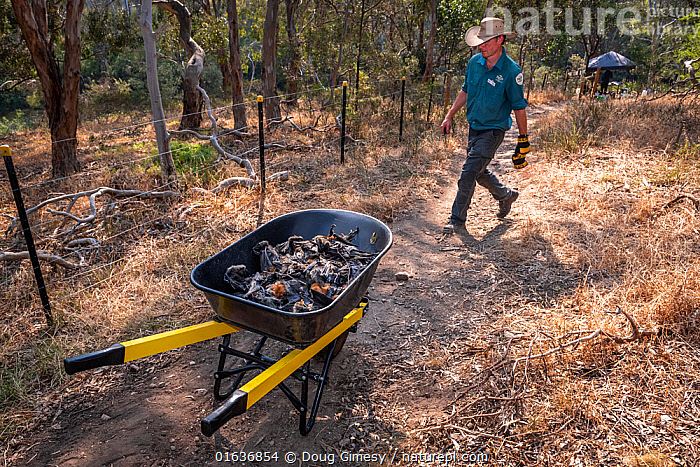 Park Ranger and Grey-headed Flying-fox Project Officer Stephen Brend on his way to get more supplies and coordinate rescue attempts, walks past a wheelbarrow filled with dead Grey-headed Flying-foxes (Pteropus poliocephalus)  that he and volunteers had collected earlier - the result of an extreme heat event at the Melbourne colony.  Park Ranger and Grey-headed Flying-fox Project Officer Stephen Brend estimated that during this day, over 4,500 Grey-headed Flying-foxes died at the Melbourne Yarra Bend colony as temperatures exceeded 43°C. 56% being infants and a significant part of the next generation. Yarra Bend Park, Kew, Victoria, Australia. December, 2019. Editorial use only., Animal,Wildlife,Vertebrate,Mammal,Bat,Mega bat,Flying fox,Grey headed flying fox,Animalia,Animal,Wildlife,Vertebrate,Mammalia,Mammal,Chiroptera,Bat,Pteropodidae,Mega bat,Megabat,Megachiroptera,Pteropus,Flying fox,Pteropus poliocephalus,Grey headed flying fox,Tragedy,Tragedies,Tragic,Dead,Temperature,Hot,Australasia,Australia,Victoria,Environment,Environmental Issues,Global Warming,Greenhouse Effect,Death,Climate change,Endangered species,threatened,Vulnerable, Doug Gimesy
