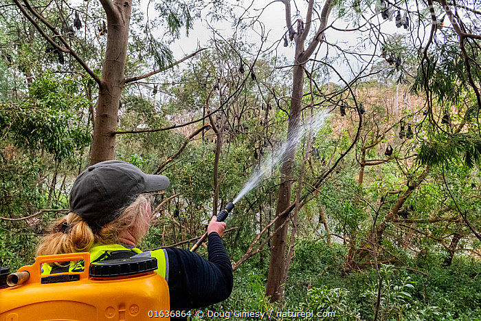 Volunteer bat rescuer Tracy Cleaves, spraying water t to cool down some Grey-headed Flying-foxes (Pteropus poliocephalus) that have descended from the safety of higher branches, in an attempt to escape the heat of the day during a heat-stress event. Yarra Bend Park. Kew, Victoria, Australia. December 2019. Editorial use only., Animal,Wildlife,Vertebrate,Mammal,Bat,Mega bat,Flying fox,Grey headed flying fox,Animalia,Animal,Wildlife,Vertebrate,Mammalia,Mammal,Chiroptera,Bat,Pteropodidae,Mega bat,Megabat,Megachiroptera,Pteropus,Flying fox,Pteropus poliocephalus,Grey headed flying fox,People,Woman,Care,Caring,Cooling Down,Rescue,Rescues,Rescuing,Saving,Australasia,Australia,Victoria,Plant,Tree,Environment,Environmental Issues,Global Warming,Greenhouse Effect,Water,Animal Behaviour,Thermoregulation,Forest,Behaviour,Climate change,Behavioural,Catalogue13,Endangered species,threatened,Vulnerable,Catalogue13, Doug Gimesy