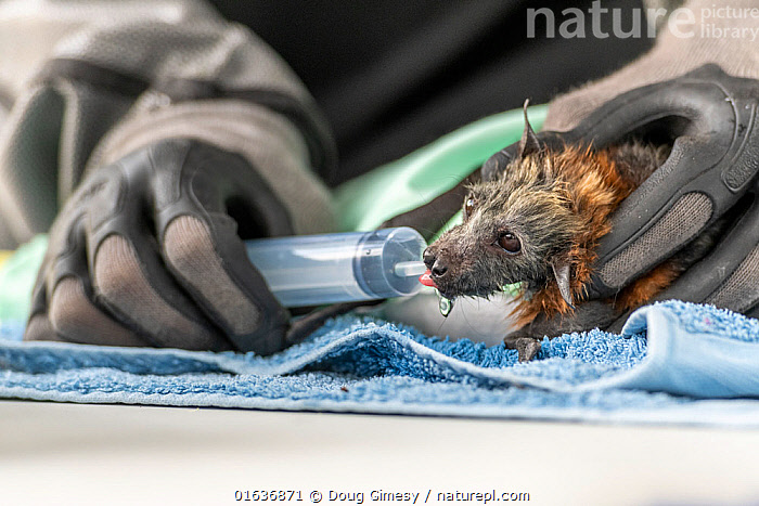 During an extreme heat-stress event where temperatures exceeded 40°C, Melbourne Zoo veterinarian Sarah Frith gives in-filed triage to a suffering young and Grey-headed Flying-fox (Pteropus poliocephalus) by providing cool fluids. Yarra Bend Golf Course, Fairfield, Victoria, Australia. December 2019. Editorial use only., Animal,Wildlife,Vertebrate,Mammal,Bat,Mega bat,Flying fox,Grey headed flying fox,Animalia,Animal,Wildlife,Vertebrate,Mammalia,Mammal,Chiroptera,Bat,Pteropodidae,Mega bat,Megabat,Megachiroptera,Pteropus,Flying fox,Pteropus poliocephalus,Grey headed flying fox,Care,Caring,Rescue,Rescues,Rescuing,Saving,Thirsty,Thirst,Temperature,Hot,Australasia,Australia,Victoria,Environment,Environmental Issues,Global Warming,Greenhouse Effect,Water,Climate change,Endangered species,threatened,Vulnerable, Doug Gimesy