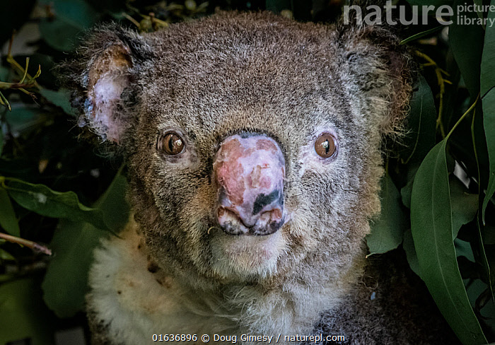 Portrait of a burnt koala (Phascolarctos cinereus) named 'Flash', a victim of the bushfires at Hillville near Taree (NSW). He arrived into care with a burnt nose, burnt hands and feet. Despite best efforts, Flash died of jaundice/liver damage two months after this photo was taken. One Mile, NSW, Australia. December 2019., Animal,Wildlife,Vertebrate,Mammal,Marsupial,Koala,Animalia,Animal,Wildlife,Vertebrate,Mammalia,Mammal,Marsupialia,Marsupial,Phascolarctos,Phascolarctos cinereus,Koala,Phascolarctos flindersii,Phascolarctos fuscus,Phascolarctos koala,Australasia,Australia,New South Wales,Portrait,Fire,Conservation,Animal rehabilitation,Rehabilitation,Wildlife conservation,Wildfire,Wild fire,Wild fires,Bush Fire,Phascolarctidae,, Doug Gimesy