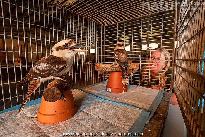 Jacky Hunt,  specialist in bird rescue and rehabilitation, with two Kookoaburras (Dacelo sp.) which she is providing temporary accommodation for in her factory. These birds were evacuated from the Walkabout Wildlife Park in Calga (NSW) due to bushfire threat. Originally it was supposed to be for a few days, but when this image was taken it was close to three weeks. Berkeley Vale, NSW, Australia, December 2019. Editorial use only., Animal,Wildlife,Vertebrate,Bird,Birds,Tree kingfisher,Kookaburra,Animalia,Animal,Wildlife,Vertebrate,Aves,Bird,Birds,Coraciiformes,Halcyonidae,Tree kingfisher,Kingfisher,Dacelo,Kookaburra,People,Woman,Care,Caring,Australasia,Australia,New South Wales,Fire,Indoors,Conservation,Animal rehabilitation,Rehabilitation,Wildlife conservation,Wildfire,Wild fire,Wild fires,Bush Fire,, Doug Gimesy