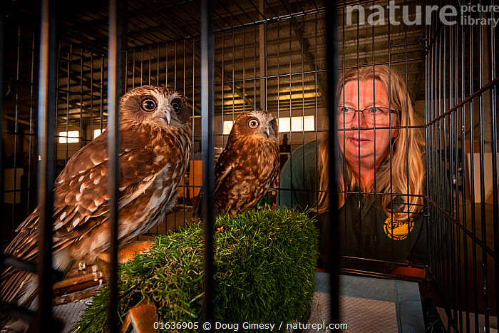 Jacky Hunt, a specialist in bird rescue and rehabilitation, with two Boobook owls (Ninox boobook), which she is providing temporary accommodation for in her factory. These birds were evacuated from the Walkabout Wildlife Park in Calga (NSW) due to bushfire threat. Originally it was supposed to be for a few days, but when this image was taken it was close to three weeks. Berkeley Vale, NSW, Australia. December  2019. Editorial use only.  ,  Animal,Wildlife,Vertebrate,Bird,Birds,Owl,Animalia,Animal,Wildlife,Vertebrate,Aves,Bird,Birds,Strigiformes,Owl,Bird of prey,Strigidae,Striginae,Ninox,People,Woman,Care,Caring,Australasia,Australia,New South Wales,Fire,Indoors,Conservation,Animal rehabilitation,Rehabilitation,Wildlife conservation,Wildfire,Wild fire,Wild fires,Bush Fire,Ninox boobook,  ,  Doug Gimesy