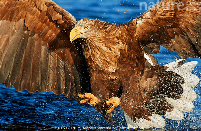 White-tailed eagle (Haliaeetus albicilla) Norway, November.  ,  Animal,Wildlife,Vertebrate,Bird,Birds,Sea eagle,White tailed sea eagle,Animalia,Animal,Wildlife,Vertebrate,Aves,Bird,Birds,Accipitriformes,Accipitridae,Haliaeetus,Sea eagle,Eagle,Bird of prey,Raptor,Haliaeetus albicilla,White tailed sea eagle,White tailed eagle,Flying,Landing,Splashing,Europe,Northern Europe,North Europe,Nordic Countries,Scandinavia,Norway,Animal Behaviour,Predation,Hunting,Behaviour,Behavioural,Birds of Prey,Catalogue13,Catalogue13  ,  Markus Varesvuo