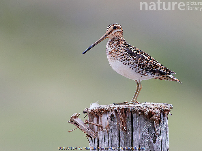 Common Snipe (Gallinago gallinago) perched on post, Iceland, June.  ,  Animal,Wildlife,Vertebrate,Bird,Birds,Sandpiper,Snipe,Animalia,Animal,Wildlife,Vertebrate,Aves,Bird,Birds,Charadriiformes,Scolopacidae,Sandpiper,Wader,Shorebird,Gallinago,Snipe,Gallinago gallinago,Common snipe,Fantail snipe,Wilson snipe,Capella gallinago,Europe,Northern Europe,North Europe,Nordic Countries,Scandinavia,Iceland,Profile,Side View,  ,  Markus Varesvuo