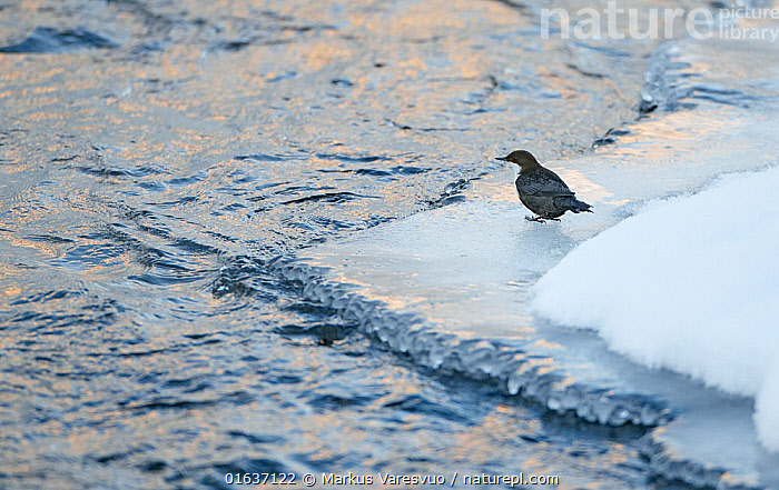 Dipper (Cinclus cinclus), Kuusamo, Finland, February.  ,  Animal,Wildlife,Vertebrate,Bird,Birds,Songbird,Dipper,White throated dipper,Animalia,Animal,Wildlife,Vertebrate,Aves,Bird,Birds,Passeriformes,Songbird,Passerine,Cinclidae,Dipper,Cinclus,Cinclus cinclus,White throated dipper,Common dipper,Eurasian dipper,White breasted dipper,European dipper,Europe,Northern Europe,North Europe,Nordic Countries,Finland,Flowing Water,River,Snow,Freshwater,Water,Kuusamo,Northern Ostrobothnia Region,  ,  Markus Varesvuo