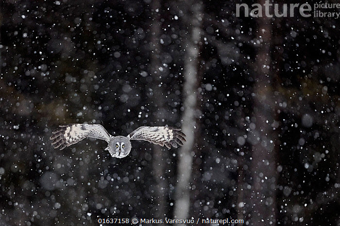 Great grey owl (Strix nebulosa) flying in snow, Kuhmo Finland, March.  ,  Animal,Wildlife,Vertebrate,Bird,Birds,Owl,Great grey owl,Animalia,Animal,Wildlife,Vertebrate,Aves,Bird,Birds,Strigiformes,Owl,Bird of prey,Strigidae,Striginae,Strix,Strix nebulosa,Great grey owl,Dark wood owl,Lapland owl,Flying,Europe,Northern Europe,North Europe,Nordic Countries,Finland,Snow,Weather,Snowing,Snowfall,Winter,Habitat,Catalogue13,Catalogue13  ,  Markus Varesvuo