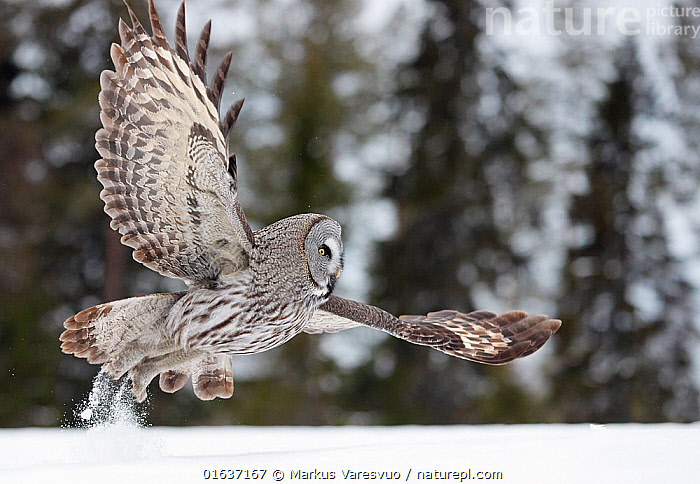 Great Grey Owl (Strix nebulosa) taking off from snow, Kuhmo Finland, March.  ,  Animal,Wildlife,Vertebrate,Bird,Birds,Owl,Great grey owl,Animalia,Animal,Wildlife,Vertebrate,Aves,Bird,Birds,Strigiformes,Owl,Bird of prey,Strigidae,Striginae,Strix,Strix nebulosa,Great grey owl,Dark wood owl,Lapland owl,Flying,Europe,Northern Europe,North Europe,Nordic Countries,Finland,Snow,Catalogue13,Catalogue13  ,  Markus Varesvuo