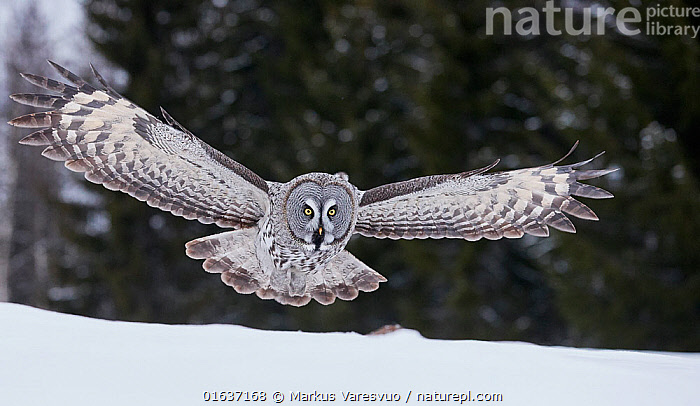 Great Grey Owl (Strix nebulosa) hunting over snow, Kuhmo Finland, March.  ,  Animal,Wildlife,Vertebrate,Bird,Birds,Owl,Great grey owl,Catalogue13,Animalia,Animal,Wildlife,Vertebrate,Aves,Bird,Birds,Strigiformes,Owl,Bird of prey,Strigidae,Striginae,Strix,Strix nebulosa,Great grey owl,Dark wood owl,Lapland owl,Flying,Europe,Northern Europe,North Europe,Nordic Countries,Finland,Front View,Wing,Snow,Winter,Wings spread,Wingspan,Catalogue13,Animals,Vertebrates,Chordates,Owls,Birds of prey,True owls,Typical owls,Wings,Animal,Wildlife,Vertebrate,Bird,Birds,Owl,Great grey owl  ,  Markus Varesvuo