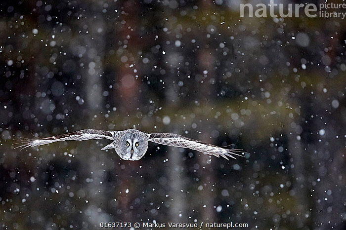 Great Grey Owl (Strix nebulosa) flying during snowfall, Kuhmo Finland, March.  ,  Animal,Wildlife,Vertebrate,Bird,Birds,Owl,Great grey owl,Animalia,Animal,Wildlife,Vertebrate,Aves,Bird,Birds,Strigiformes,Owl,Bird of prey,Strigidae,Striginae,Strix,Strix nebulosa,Great grey owl,Dark wood owl,Lapland owl,Flying,Focus,Europe,Northern Europe,North Europe,Nordic Countries,Finland,Snow,Weather,Snowing,Snowfall,Winter,Direct Gaze,Focused,Catalogue13,Catalogue13  ,  Markus Varesvuo