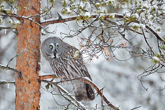 Great Grey Owl (Strix nebulosa) perched on in snowy pine tree, Kuhmo Finland, March.  ,  Animal,Wildlife,Vertebrate,Bird,Birds,Owl,Great grey owl,Animalia,Animal,Wildlife,Vertebrate,Aves,Bird,Birds,Strigiformes,Owl,Bird of prey,Strigidae,Striginae,Strix,Strix nebulosa,Great grey owl,Dark wood owl,Lapland owl,Europe,Northern Europe,North Europe,Nordic Countries,Finland,Plant,Tree,Snow,Winter,  ,  Markus Varesvuo