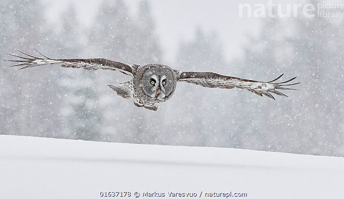 Great Grey Owl (Strix nebulosa) in flight in snowfall, Kuhmo Finland, March.  ,  Animal,Wildlife,Vertebrate,Bird,Birds,Owl,Great grey owl,Animalia,Animal,Wildlife,Vertebrate,Aves,Bird,Birds,Strigiformes,Owl,Bird of prey,Strigidae,Striginae,Strix,Strix nebulosa,Great grey owl,Dark wood owl,Lapland owl,Europe,Northern Europe,North Europe,Nordic Countries,Finland,Snow,Winter,  ,  Markus Varesvuo