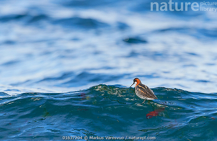 Red-necked Phalarope (Phalaropus lobatus) female in water, Iceland, June.  ,  Animal,Wildlife,Vertebrate,Bird,Birds,Sandpiper,Phalarope,Northern phalarope,Seabird,Animalia,Animal,Wildlife,Vertebrate,Aves,Bird,Birds,Charadriiformes,Scolopacidae,Sandpiper,Wader,Shorebird,Phalaropus,Phalarope,Phalaropus lobatus,Northern phalarope,Red necked phalarope,Europe,Northern Europe,North Europe,Nordic Countries,Scandinavia,Iceland,Female animal,Water,Seabird,  ,  Markus Varesvuo