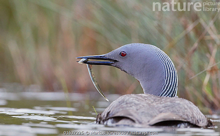 Red-throated diver (Gavia stellata) bringing fish for the chicks Iceland, June.  ,  Animal,Wildlife,Vertebrate,Bird,Birds,Diver,Red throated diver,Animalia,Animal,Wildlife,Vertebrate,Aves,Bird,Birds,Gaviiformes,Gaviidae,Diver,Loon,Gavia,Gavia stellata,Red throated diver,Red throated loon,Europe,Northern Europe,North Europe,Nordic Countries,Scandinavia,Iceland,Rear View,Young Animal,Water,Feeding,  ,  Markus Varesvuo