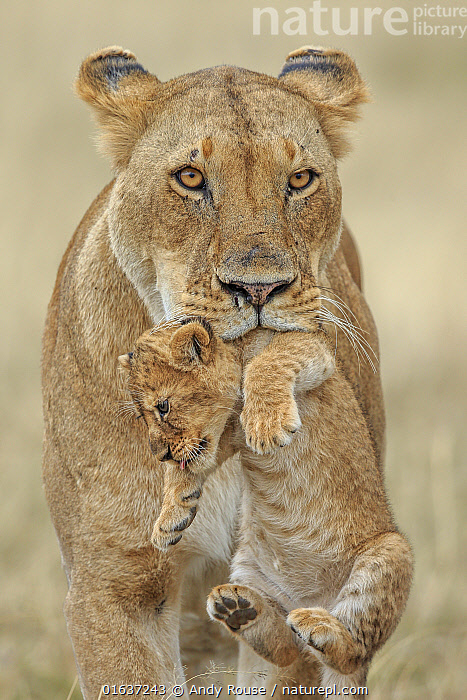 African lion (Panthera leo) female carrying young cub, Masai Mara, Kenya, Africa. Highly commended in the African Wildlife Category of the Nature's Best Photography Competition 2019., Competition winners 2019,,,Animal,Wildlife,Vertebrate,Mammal,Carnivore,Cat,Big cat,Lion,Animalia,Animal,Wildlife,Vertebrate,Mammalia,Mammal,Carnivora,Carnivore,Felidae,Cat,Panthera,Big cat,Panthera leo,Cute,Adorable,Africa,East Africa,Kenya,Lion,Family,Mother baby,Mother,Parent baby,, Andy Rouse