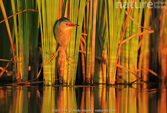 Little Bittern (Ixobrychus minutus) hunting in reeds, Bulgaria. Horizontal version of 01609394. Highly honoured in the Bird Category of the Nature's Best Photography Competition 2019., Competition winners 2019,,,Animal,Wildlife,Vertebrate,Bird,Birds,Bittern,Little bittern,Animalia,Animal,Wildlife,Vertebrate,Aves,Bird,Birds,Pelecaniformes,Ardeidae,Ixobrychus,Bittern,Botaurinae,Ixobrychus minutus,Little bittern,Europe,Eastern Europe,East Europe,Bulgaria,Plant,Grass Family,Reed,Reeds,Reflection,Reedbed,Reed beds,Reed bed,, Andy Rouse