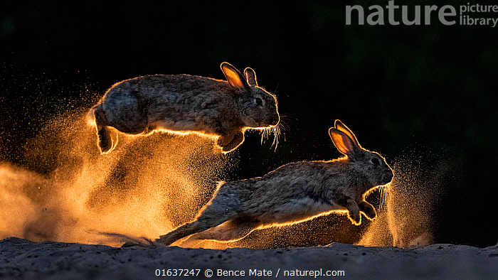 European rabbits (Oryctolagus cuniculus) fighting each other, Kiskunsag National Park, Hungary. June. Winner, General Fauna Category, 2019 Cadiz Photo Nature Competition., Animal,Wildlife,Vertebrate,Mammal,Lagomorph,Leporid,Dwarf rabbit,European rabbit,Animalia,Animal,Wildlife,Vertebrate,Mammalia,Mammal,Lagomorpha,Lagomorph,Leporidae,Leporid,Oryctolagus,Dwarf rabbit,Oryctolagus cuniculus,European rabbit,Jumping,Running,Dominant,Dominance,Two,Europe,Eastern Europe,East Europe,Hungary,Back Lit,Award,Awards,Prize,Prizes,Animal Behaviour,Aggression,Fighting,Reserve,Behaviour,Protected area,National Park,Competition,Moving,Behavioural,Movement,, Bence Mate