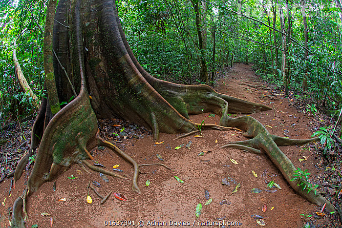 Buttress Roots on tropical tree, Costa Rica.  ,  Latin America,Central America,Costa Rica,Plant,Root,Tree,Tropical,Rainforest,Tropical rainforest,Forest,Biodiversity hotspot,Buttress Root,Adaptation,  ,  Adrian Davies