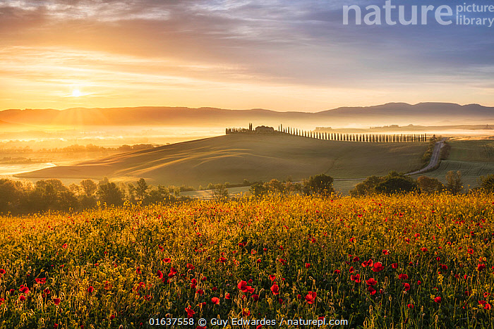 Sunrise over the Val d'Orcia, with Field poppies (Papaver rhoeas) Tuscany, Italy, May.  ,  Europe,Southern Europe,Italy,Tuscany,Tuscanny,Western Europe,UK,Great Britain,England,Cornwall,Horizontal,Plant,Wildflower,Wildflowers,Flower,Poppy,Poppies,Tree,Evergreen Tree,Coniferous Tree,Conifers,Cupressus,Cupressuses,Cypress Tree,Cypress Trees,Cypresses,Mist,Sunrise,Spring,Beautiful,Grassland,Meadow,Dawn,Conifer,  ,  Guy Edwardes