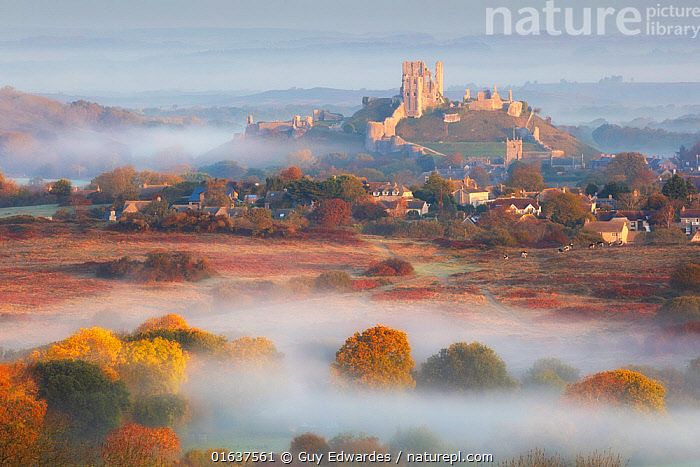 Corfe Castle in early morning mist, Dorset, England, UK, October 2018.  ,  Morning,Mornings,Europe,Western Europe,UK,Great Britain,England,Dorset,Plant,Leaf,Foliage,Building,Historic Building,Castle,Castles,Ruins,Ruin,Weather,Mist,Landscape,Autumn,Countryside,Isle of Purbeck,Corfe,  ,  Guy Edwardes