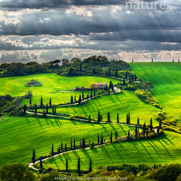 Landscape of farmland with Cypress trees, Tuscany, Italy. May 2019.  ,  Colour,Green,Europe,Southern Europe,Italy,Tuscany,Tuscanny,Horizontal,Plant,Tree,Evergreen Tree,Coniferous Tree,Conifers,Cupressus,Cupressuses,Cypress Tree,Cypress Trees,Cypresses,Road,Building,Residential Structure,House,Houses,Farmhouse,Farmhouses,Sunlight,Sky,Cloud,Landscape,Spring,Summer,Natural Light,Winding,Conifer,Catalogue13,Catalogue13  ,  Guy Edwardes