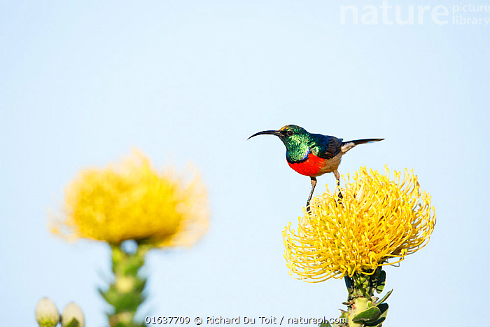RF - Greater doublecollared sunbird (Nectarinia afra) male perched on Pincushion flower (Leucospermum sp.) in fynbos habitat, Western Cape Province, South Africa. Endemic species to this region. (This image may be licensed either as rights managed or royalty free.)  ,  Plant,Vascular plant,Flowering plant,Dicot,Pincushion plant,Animal,Wildlife,Vertebrate,Bird,Birds,Songbird,Sunbird,Greater double collared sunbird,Plantae,Plant,Tracheophyta,Vascular plant,Magnoliopsida,Flowering plant,Angiosperm,Seed plant,Spermatophyte,Spermatophytina,Angiospermae,Proteales,Dicot,Dicotyledon,Proteanae,Proteaceae,Leucospermum,Pincushion plant,Pincushion,Pincushion protea,Animalia,Animal,Wildlife,Vertebrate,Aves,Bird,Birds,Passeriformes,Songbird,Passerine,Nectariniidae,Sunbird,Cinnyris,Cinnyris afer,Greater double collared sunbird,Larger double collared sunbird,Larger red breasted sunbird,Nectarinia afra,Certhia afra,Colour,Colourful,Africa,Southern Africa,South Africa,Flower,Cape floristic region,Biodiversity hotspots,Biodiversity hotspot,Endemic,Fynbos,South African,  ,  Richard Du Toit
