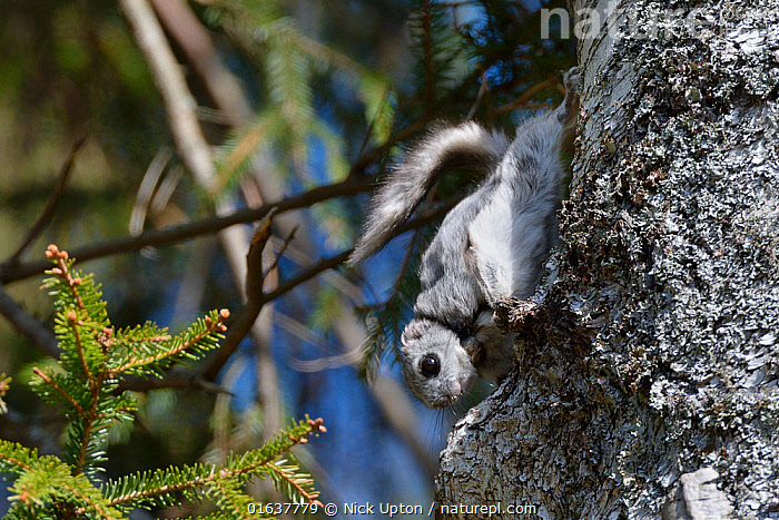 Siberian flying squirrel (Pteromys volans) wearing a radiocollar hangs on the trunk of a Downy birch tree (Betula pubescens) near its nest hole in mature mixed forest, near Iisaku, Estonia, April.  ,  Grey,Single,One,Squirrels,Vertebrates,Mammals,Europe,Eastern Europe,Estonia,Trees,Woodland,Deciduous,Mixed forest,Sciuridae,Vulnerable,Forests,,Plant,Vascular plant,Flowering plant,Rosid,Birch tree,Downy birch tree,Animal,Wildlife,Vertebrate,Mammal,Rodent,Old World flying squirrel,Russian Flying Squirrel,Plantae,Plant,Tracheophyta,Vascular plant,Magnoliopsida,Flowering plant,Angiosperm,Seed plant,Spermatophyte,Spermatophytina,Angiospermae,Fagales,Rosid,Dicot,Dicotyledon,Rosanae,Betulaceae,Betula,Birch tree,Betula pubescens,Downy birch tree,Betula alba var. pubescens,Betula alba pubescens,Animalia,Animal,Wildlife,Vertebrate,Mammalia,Mammal,Rodentia,Rodent,Sciuridae,Pteromys,Old World flying squirrel,Pteromys volans,Russian Flying Squirrel,Siberian Flying Squirrel,Hanging,Upside Down,Europe,Eastern Europe,East Europe,Baltic Countries,Estonia,Tree,Equipment,Forest,Conservation equipment,Radio trackers,Radio collars,Tree,Trees  ,  Nick Upton