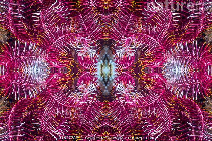 Kaleidoscopic image of a featherstar. Indonesia.  ,  Animal,Wildlife,Echinoderm,Crinoid,Feather star,Animalia,Animal,Wildlife,Echinodermata,Echinoderm,Crinoidea,Crinoid,Comatulida,Feather star,Comasteridae,Pattern,Asia,South East Asia,Indonesia,Tropical,Ocean,Pacific Ocean,Marine,Underwater,Water,Saltwater,Biodiversity hotspot,Catalogue13,Kaleidoscope,Kaleidoscopic,Marine,Invertebrate,Invertebrates,Catalogue13  ,  Georgette Douwma