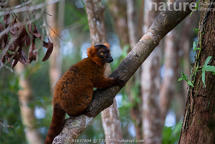 Red ruffed lemur (Varecia rubra) Palmarium Ankanin'Nofy reserve, Madagascar.  ,  Animal,Wildlife,Vertebrate,Mammal,Lemur,Ruffed lemurs,Red-ruffed Lemur,Animalia,Animal,Wildlife,Vertebrate,Mammalia,Mammal,Primate,Primates,Lemuridae,Lemur,Prosimians,Varecia,Ruffed lemurs,Varecia rubra,Red-ruffed Lemur,Red Ruffed Lemur,Africa,Madagascar,Malagasy Republic,Republic of Madagascar,Reserve,Biodiversity hotspots,Biodiversity hotspot,Protected area,Endangered species,threatened,Endangered,Critically endangered  ,  TJ Rich