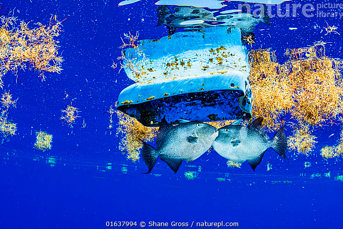 Two grey triggerfish (Balistes capriscus) fight over a large piece of plastic floating at the surface among sargassum seaweed (Sargassum natans) in the Sargasso Sea, Atlantic Ocean.  ,  Stramenophila,Yellow-green algae,Brown algae,Sargassum weed,Animal,Wildlife,Vertebrate,Ray-finned fish,Plectognathi,Triggerfish,Grey triggerfish,Common Gulfweed,Marine algae,Chromista,Stramenophila,Ochrophyta,Yellow-green algae,Heterokontophyta,Phaeophyceae,Brown algae,Fucales,Sargassaceae,Sargassum,Sargassum weed,Animalia,Animal,Wildlife,Vertebrate,Actinopterygii,Ray-finned fish,Osteichthyes,Bony fish,Fish,Tetraodontiformes,Plectognathi,Balistidae,Triggerfish,Balistes,Man Made Material,Plastic,Plastics,Ocean,Atlantic Ocean,Environment,Environmental Issues,Environmental Damage,Marine,Underwater,Water,Temperate,Saltwater,Marine Pollution,Balistes capriscus,Grey triggerfish,Sargassum natans,Common Gulfweed,Sargasso Sea,Marine algae,Catalogue13,Catalogue13  ,  Shane Gross