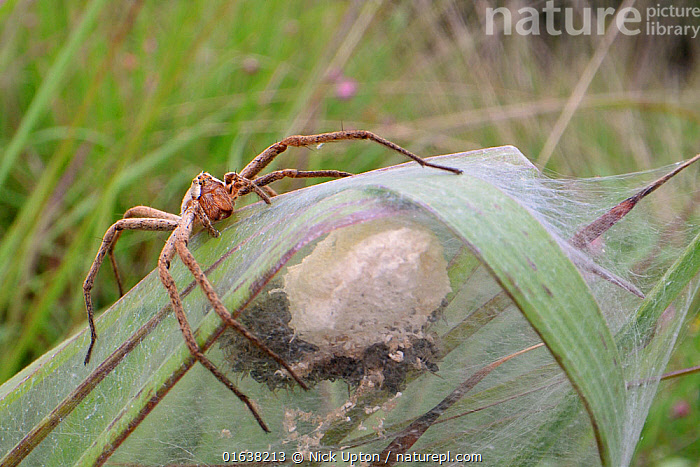 Nursery web spider (Pisaura mirabilis) female animal guarding her spiderlings, recently hatched from an egg sac within a silken tent on vegetation in a marsh, Dorset, UK, July.  ,  Animal,Wildlife,Arthropod,Arachnid,Spider,Nursery web spider,Animalia,Animal,Wildlife,Chelicerata,Arthropod,Chelicerate,Arthropoda,Arachnida,Arachnid,Aranae,Spider,Pisauridae,Nursery web spider,Pisaura,Pisaura mirabilis,Pisaura listeri,Pisaura rufofasciata,Ocyale mirabilis,Protection,Europe,Western Europe,UK,Great Britain,England,Dorset,Female animal,Animal Home,Nest,Invertebrate,Protector,  ,  Nick Upton