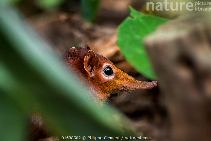 Black and rufous elephant shrew / Zanj elephant shrew (Rhynchocyon petersi) jumping shrew native to Kenya and Tanzania. Captive  ,  black and rufous elephant shrew,black and rufous sengi,Zanj elephant shrew,Rhynchocyon petersi,Macroscelididae,proboscis,long nose,nose,elephant shrew,elephant shrews,sengi,sengis,jumping shrew,Africa,African,Kenya,Tanzania,nature,wildlife,fauna,animal,animals,mammal,insectivorous,mammals,forage,foraging,tropical,forest,Tropics,wood,woodland,long nose,close-up,close up,vegetation,ground,head,snout,,Animal,Wildlife,Vertebrate,Mammal,Elephant shrew,Giant sengi,Black and rufous elephant shrew,Animalia,Animal,Wildlife,Vertebrate,Mammalia,Mammal,Macroscelidea,Elephant shrew,Macroscelididae,Rhynchocyon,Giant sengi,Checkered elephant shrew,Cute,Adorable,Africa,East Africa,Kenya,Tanzania,Animal Nose,Rhynchocyon petersi,Black and rufous elephant shrew,  ,  Philippe Clement