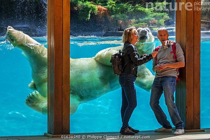 Visitors taking selfie with smartphone while giant polar bear (Ursus maritimus) is swimming past, Zoo de la Fleche, France, September 2019, polar bear,bear,polar bears,bears,Ursus maritimus,Thalarctos maritimus,swim,swimming,underwater,diving,water,predator,predators,nature,European,wildlife,fauna,animal,animals,mammal,mammals,zoo,La Flèche,France,Europe,zoos,captive,people,two,visitors,tourists,travel,tourism,selfie,smartphone,selfies,phone,pose,posing,couple,taking pictures,zoological garden,leisure,recreation,,Animal,Wildlife,Vertebrate,Mammal,Carnivore,Bear,Polar bear,Animalia,Animal,Wildlife,Vertebrate,Mammalia,Mammal,Carnivora,Carnivore,Ursidae,Bear,Ursus,Ursus maritimus,Polar bear,Ursus labradorensis,Ursus marinus,Ursus polaris,Swimming,People,Couple,Humorous,Europe,Western Europe,France,Zoo,Zoos,Travel,Tourism,Animal selfie,Selfie,Endangered species,threatened,Vulnerable, Philippe Clement
