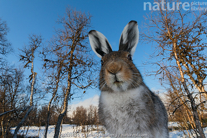 Mountain hare (Lepus timidus) in spring, Vauldalen, Norway, May.  ,  Animal,Wildlife,Vertebrate,Mammal,Lagomorph,Leporid,Hare,Mountain Hare,Catalogue13,Animalia,Animal,Wildlife,Vertebrate,Mammalia,Mammal,Lagomorpha,Lagomorph,Leporidae,Leporid,Lepus,Hare,Lepus timidus,Mountain Hare,Curiosity,Europe,Northern Europe,North Europe,Nordic Countries,Scandinavia,Norway,Low Angle View,Portrait,Plant,Tree,Ear,Animal Ears,Ears,Animal Nose,Snow,Ideas,Woodland,Habitat,Forest,Catalogue13,Animals,Vertebrates,Chordates,Mammals,Lagomorphs,Leporids,Hares,Portraits,Trees,Animal Noses,Noses,Woods,Forests,Woodlands,Animal,Wildlife,Vertebrate,Mammal,Lagomorph,Leporid,Hare,Mountain Hare  ,  Erlend Haarberg
