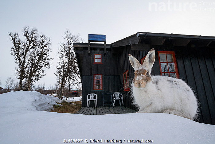 Mountain hare (Lepus timidus) in spring outside a Norwegian house, Vauldalen, Norway, May.  ,  Animal,Wildlife,Vertebrate,Mammal,Lagomorph,Leporid,Hare,Mountain Hare,Animalia,Animal,Wildlife,Vertebrate,Mammalia,Mammal,Lagomorpha,Lagomorph,Leporidae,Leporid,Lepus,Hare,Lepus timidus,Mountain Hare,Europe,Northern Europe,North Europe,Nordic Countries,Scandinavia,Norway,Close Up,Portrait,Building,Residential Structure,House,Houses,Snow,Spring,Moult,Vauldalen,Brekkebygd,Catalogue13,Catalogue13  ,  Erlend Haarberg