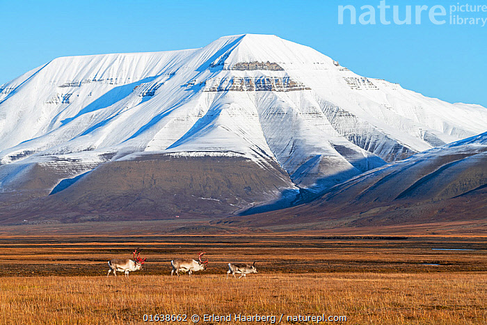 Svalbard reindeer (Rangifer tarandus platyrhynchus), Svalbard, Norway, September., Animal,Wildlife,Vertebrate,Mammal,Deer,Caribou,Arctic,Animalia,Animal,Wildlife,Vertebrate,Mammalia,Mammal,Artiodactyla,Even-toed ungulates,Cervidae,Deer,True deer,ruminantia,Ruminant,Rangifer,Rangifer tarandus,Caribou,Reindeer,Europe,Northern Europe,North Europe,Nordic Countries,Scandinavia,Norway,Svalbard,Mountain,Snow,Landscape,Svalbard reindeer,Arctic,Catalogue13,Catalogue13, Erlend Haarberg