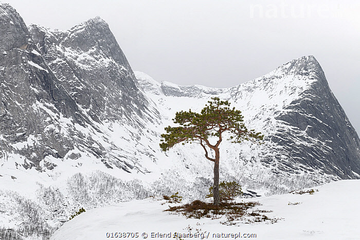Scots pine (Pinus sylvestris), in coastal landscape, Efjorden, Nordland, Norway, February., Plant,Vascular plant,Conifer,Pine tree,Scots pine tree,Plantae,Plant,Tracheophyta,Vascular plant,Pinopsida,Conifer,Gymnosperm,Spermatophyte,Pinophyta,Coniferophyta,Coniferae,Spermatophytina,Gymnospermae,Pinales,Pinaceae,Pinus,Pine tree,Pine,Pinus sylvestris,Scots pine tree,Pinus ericetorum,Pinus frieseana,Alone,Solitude,Solitary,Temperature,Cold,Europe,Northern Europe,North Europe,Nordic Countries,Scandinavia,Norway,Tree,Mountain,Snow,Landscape,Winter,Nordland,Coniferous,Tree,Trees, Erlend Haarberg