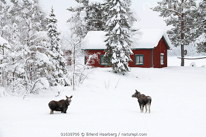 Moose (Alces alces), calves near house in winter, Jokkmokk, Sweden, February., Animal,Wildlife,Vertebrate,Mammal,Deer,Moose,Eurasian Elk,Animalia,Animal,Wildlife,Vertebrate,Mammalia,Mammal,Artiodactyla,Even-toed ungulates,Cervidae,Deer,True deer,ruminantia,Ruminant,Alces,Moose,Alces alces,Eurasian Elk,Eurasian Moose,European Elk,Siberian Elk,Colour,Red,Two,Temperature,Cold,Europe,Northern Europe,North Europe,Nordic Countries,Scandinavia,Sweden,Young Animal,Baby,Baby Mammal,Calf,Building,Residential Structure,House,Houses,Snow,Winter,Catalogue13,Catalogue13, Erlend Haarberg
