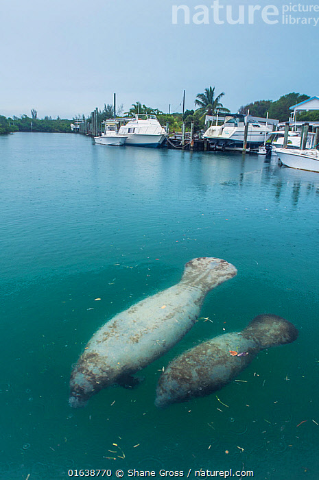 Manatee (Trichechus manatus latirostrus) female and calf close to surface in a marina with boats in background, The Bahamas.  ,  Animal,Wildlife,Vertebrate,Mammal,Sea cow,Manatee,Manatees,American Manatee,Animalia,Animal,Wildlife,Vertebrate,Mammalia,Mammal,Sirenia,Sea cow,Trichechidae,Manatee,Trichechus,Manatees,Trichechus manatus,American Manatee,West Indian Manatee,Trichechus americanus,Trichechus antillarum,Trichechus clusii,The Caribbean,Caribbean,West Indies,Marina,Boat Basin,Boat Basins,Marinas,Tropical,Ocean,Caribbean Sea,Coast,Marine,Coastal,Water,Saltwater,Biodiversity hotspots,Endangered species,threatened,Vulnerable  ,  Shane Gross