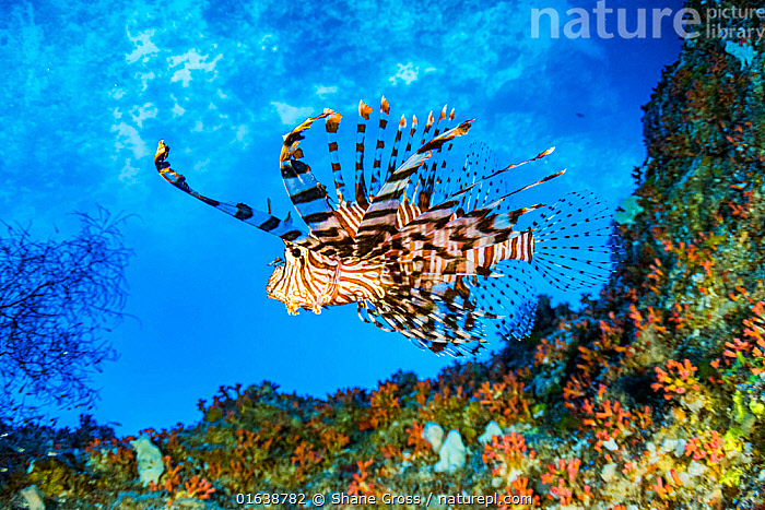Red lionfish (Pterois volitans) swimming under a coral ledge, Palau.  ,  Animal,Wildlife,Vertebrate,Ray-finned fish,Lionfish,Scorpionfish,Catalogue13,Animalia,Animal,Wildlife,Vertebrate,Actinopterygii,Ray-finned fish,Osteichthyes,Bony fish,Fish,Scorpaeniformes,Scorpaenidae ,Scorpionfishes,Pterois,Lionfish,Pterois volitans,Butterfly cod,Common lionfish,Featerfins,Firefish,Ornate butterfly-cod,Peacock lionfish,Ref lionfishGasterosteus volitans,Swimming,Oceania,Palau,Tropical,Reef,Reefs,Coral Reef,Coral Reefs,Ocean,Pacific Ocean,Marine,Underwater,Water,Saltwater,Scorpionfish,Catalogue13,Animals,Vertebrates,Chordates,Ray-finned fishes,Bony fishes,Fishes,Oceans,Animal,Wildlife,Vertebrate,Ray-finned fish,Lionfish,Scorpionfish  ,  Shane Gross