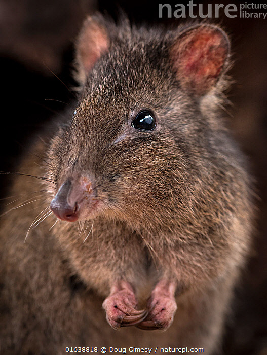 Long-nosed potoroo (Potorous tridactylus) portrait showing sharp curved claws on front feet for foraging, Victoria, Australia. Controlled conditions.  ,  Animal,Wildlife,Vertebrate,Mammal,Marsupial,Potoroos,Long nosed potoroo,Animalia,Animal,Wildlife,Vertebrate,Mammalia,Mammal,Marsupialia,Marsupial,Potoroidae,Potorous,Potoroos,Potorous tridactylus,Long nosed potoroo,Cute,Adorable,Close Up,Portrait,Animal Eye,Eyes,Claw,Claws,Catalogue13,Catalogue13  ,  Doug Gimesy