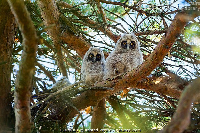 Long-eared owls (Asio otus) in the nest, Bavaria, Germany, June.  ,  Animal,Wildlife,Vertebrate,Bird,Birds,Owl,Long eared owl,Animalia,Animal,Wildlife,Vertebrate,Aves,Bird,Birds,Strigiformes,Owl,Bird of prey,Strigidae,Striginae,Asio,Asio otus,Long eared owl,Northern long eared owl,Common long eared owl,Strix otus,Europe,Western Europe,Germany,Bavaria,Young Animal,Baby,Chick,Animal Home,Nest,Catalogue13,Catalogue13  ,  Konrad Wothe