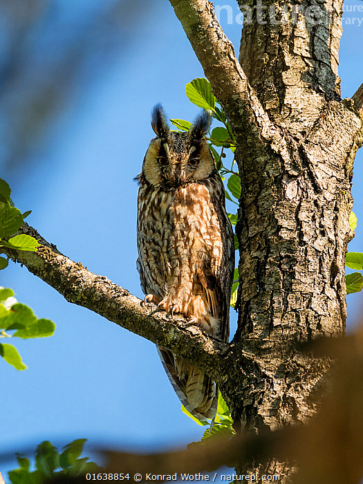 Long-eared owl (Asio otus) in alder tree, Bavaria, Germany, July.  ,  Animal,Wildlife,Vertebrate,Bird,Birds,Owl,Long eared owl,Animalia,Animal,Wildlife,Vertebrate,Aves,Bird,Birds,Strigiformes,Owl,Bird of prey,Strigidae,Striginae,Asio,Asio otus,Long eared owl,Northern long eared owl,Common long eared owl,Strix otus,Europe,Western Europe,Germany,Bavaria,Plant,Tree,  ,  Konrad Wothe