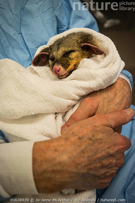 An injured possum in the arms of Dr. Howard Ralph of Southern Cross Wildlife Care, Braidwood, Australia. The possum received expert treatment for severe burns to his tail and paws, sustained in a bushfire. January 2020  ,  Animal,Wildlife,Vertebrate,Mammal,Marsupial,Possum,Animalia,Animal,Wildlife,Vertebrate,Mammalia,Mammal,Marsupialia,Marsupial,Petauridae,Possum,Australasia,Australia,Victoria,Natural Disaster,Forest Fire,Forest Fires,Environment,Environmental Issues,Global Warming,Greenhouse Effect,Climate change,  ,  Jo-Anne McArthur / We Animals