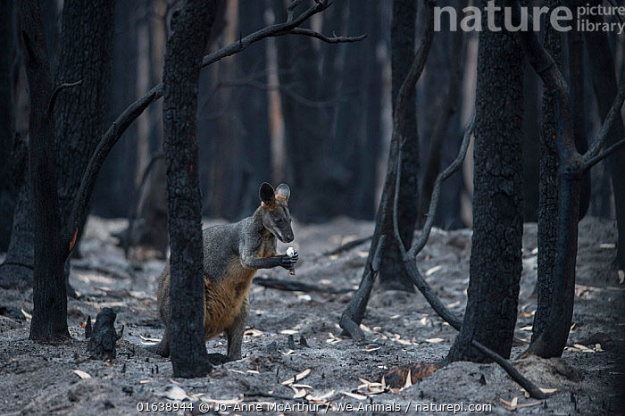 A lone wallaby in a burnt forest in Mallacoota forages for fungi growing from the forest floor. Australia, January 2020, Damaged,Burnt,Destruction,Australasia,Australia,Victoria,Natural Disaster,Forest Fire,Forest Fires,Environment,Environmental Issues,Global Warming,Greenhouse Effect,Habitat,Forest,Climate change,Catalogue13,Catalogue13, Jo-Anne McArthur / We Animals