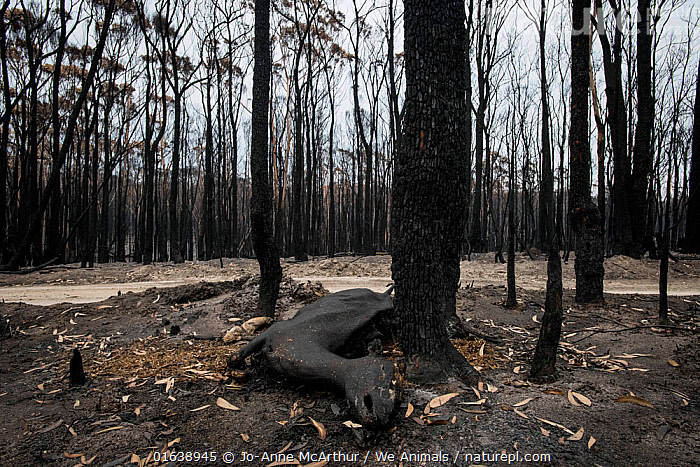 A deer who died in a bushfires in Mallacoota, Australia, January 2020, Damaged,Burnt,Destruction,Australasia,Australia,Victoria,Natural Disaster,Forest Fire,Forest Fires,Environment,Environmental Issues,Global Warming,Greenhouse Effect,Habitat,Forest,Climate change,, Jo-Anne McArthur / We Animals